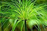 CYPERUS PAPYRUS, 106 SEEDS, A BEAUTIFUL STATEMENT IN YOUR GARDEN, WATER, POND