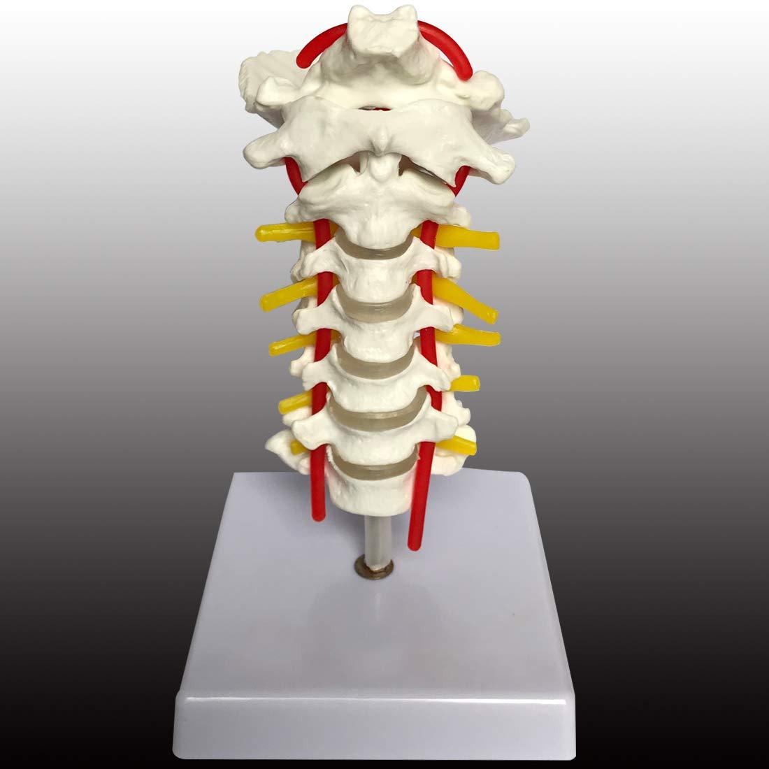 Cervical Vertebra Arteria Spine Spinal Nerves Anatomical
