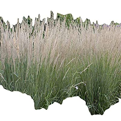 Feather Reed Karl Foerster > Calamagrostis acutiflora 'Karl Foerster' >Landscape Ready 1 Gallon Container : Shrub Plants : Garden & Outdoor