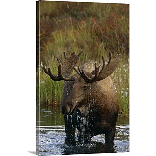 GREATBIGCANVAS Gallery-Wrapped Canvas Entitled Bull Moose in Pond, Denali National Park, Alaska by Harry Walker 12