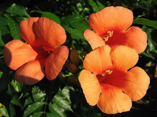 - 25 Orange HUMMINGBIRD TRUMPET CREEPER Campsis Radicans Vine Flower Seeds by Seedville
