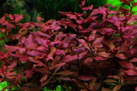 Wasserflora Neu! Kleine Weinrote Ludwigie / Ludwigia sp. Super Red - Super Rot
