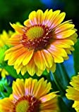 Arizona Apricot Blanket Flower - Gaillardia - Live Plant - Quart Pot