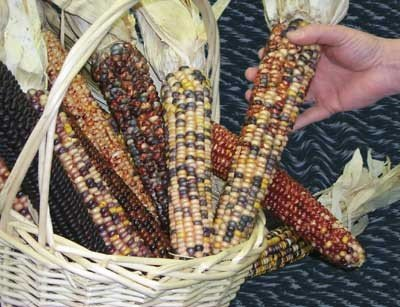 David's Garden Seeds Corn Dent American Way SL2245 (Multi) 100 Open Pollinated - Open Pollinated Corn