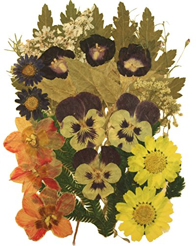 Pressed flowers mix, morning glory, daisy, daffodils, alyssum, pansy, foliage for art craft card making (Pressed Flowers)