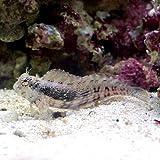 (海水魚)ヤエヤマギンポ(ブレニー) Mサイズ コケの掃除(1匹) 本州・四国限定[生体]