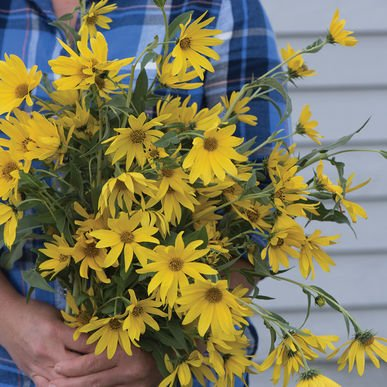 maximilian sunflower seeds - 1