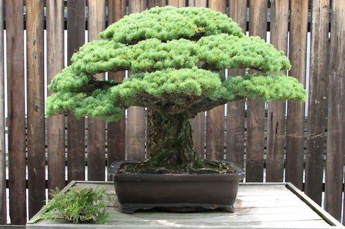 Tree Pine White Bonsai (Japanese White Pine, Pinus parviflora, 15 Tree Seeds (Bonsai, Fragrant Evergreen))