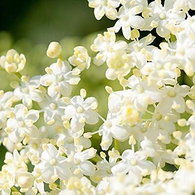 Elderberry Edible Berries Juicy Fruit 100 Seeds : Garden & Outdoor