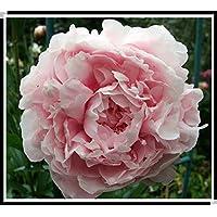 15pcs / semillas de peonía. Paeonia suffruticosa 12 colores semillas de flores bonsai de interior para semillas de…