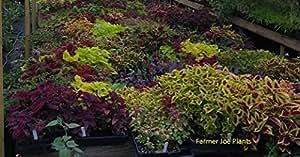 """COLEUS - SUN TOLERANT MIXTURE - 50 LIVE PLANTS - 3"""" POTS"""