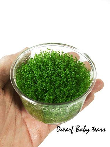 dwarf-baby-tears-hemianthus-callitrichoides-java-moss-live-aquarium-plants-freshwater-fish-tank-vitr