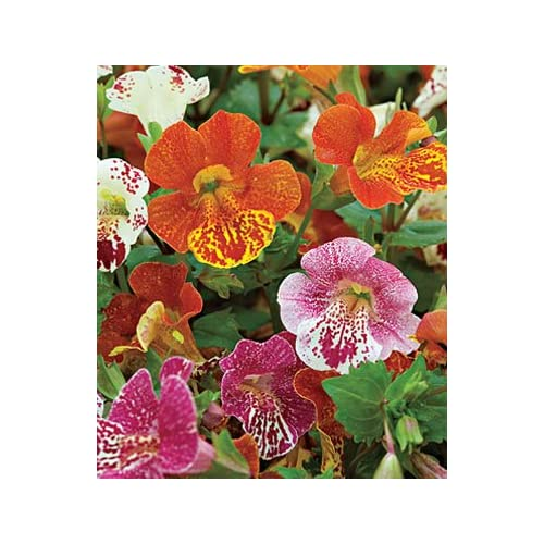 """Mimulus"" Magic Blotch Mix *Tiger MONKEY FLOWER* 50+Annual Seeds"