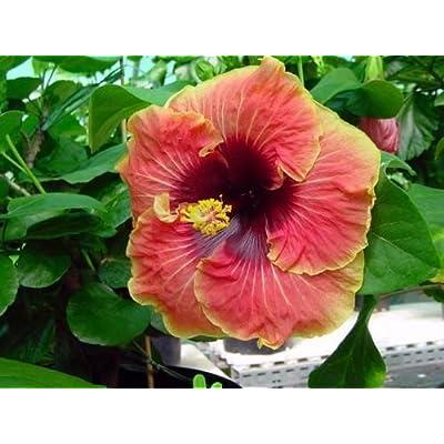 Hibiscus Seeds Tahitian Caramel Galaxy x Tahitian Purple Passion 10 Seeds : Garden & Outdoor