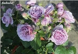 Semillas mixtas Rose, 200 PC Raras Bonsai Rose Flores, colores de la mezcla Tiesto Crecimiento natural para el jardín Suppies Representante Amor 8