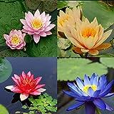 10 seeds 4 color mix Bowl Lotus Flower Seed water Aquatic Plants Nelumbo