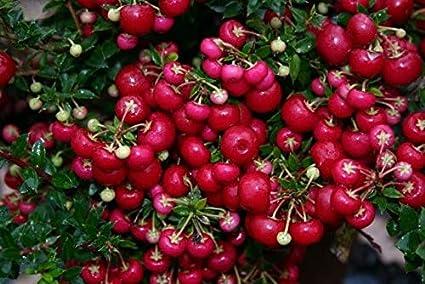 Pernettya Cuidados.Amazon Com Gaultheria Mucronata Pernettya Mucronata 15 Semillas Jardin Y Exteriores