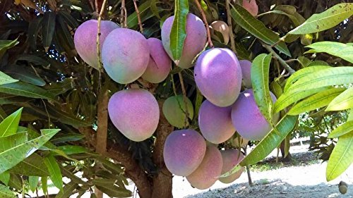 The California Food Shop All Natural Unsweetened Dried Mangoes 30 oz (850 gr)Pack Tropical Dried Mango Fruits Healthy and Delicious Snack No Added Sugar or Chemicals by The California Food Shop (Image #5)