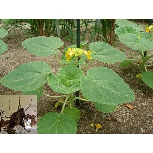 # Lbicella Lutea # Devil's ClaW # Protocarnivorous # Diablo_PlanT # 5 RaRe Seeds
