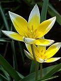 """(PTT)~""""WHITE/YELLOW TULIPA TARDA""""~Seeds!~~~~~~~~1st Spring Flowers!!"""