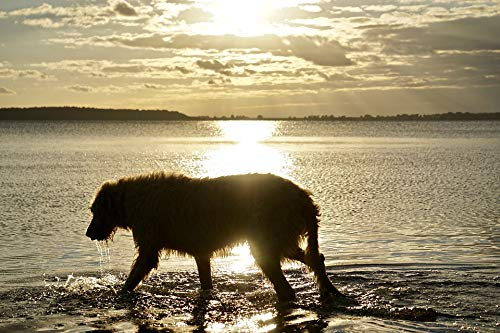 Home Comforts Peel-n-Stick Poster of Silhouette Irish Wolfhound Beach Sunset Vivid Imagery Poster 24 x 16 Adhesive Sticker Poster Print