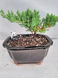 Juniper Bonsai-panda-with Ceramic Bonsai Pots Unique From Jm Bamboo