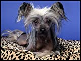 Chinese Crested Dog Laying on a Pillow - Etched Vinyl Stained Glass Film, Static Cling Window Decal