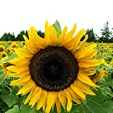 Grey Stripe Mammoth Sunflower Flower Seeds, 50+ Premium Heirloom Seeds, ON SALE!, (Isla's Garden Seeds), 90% Germination, Non Gmo Organic