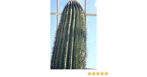 Same Day Dispatch x 20 FRESH Seeds Carnegiea Gigantea Saguaro Giant Cactus