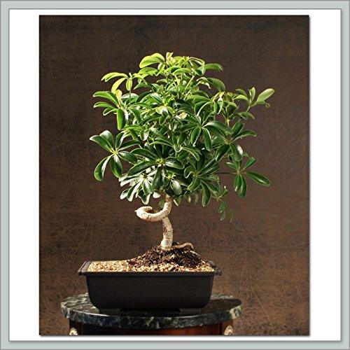 Indoorbonsaiexotics Small Coiled Umbrella Beginner Bonsai Tree (Indoors)