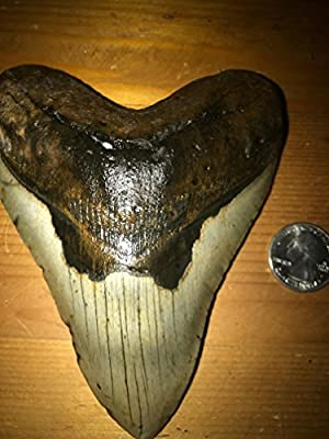 Huge 5 Inch Genuine Fossil Megalodon Shark Tooth!