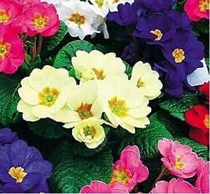 50 piezas / bolsa 12kinds de semillas, semillas Primula bonsai de la planta de jardín, interior y semillas de flores al aire libre, promoción grande Sólo para usted