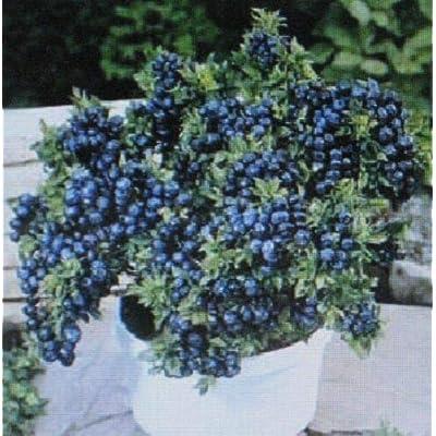 Grandiosy Dwarf TOP HATBLUEBERRY Bulk 1000 Count Container Bonsai Specimen : Garden & Outdoor