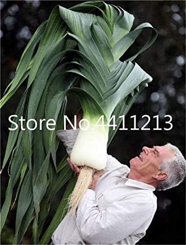 Bloom Green Co. 100 Unids Raro Gigante Ajo China Cebolla Verde ...