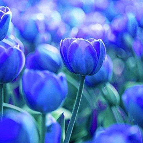 (10 Blue Tulip Bulbs Perennial Bulbs for Garden Planting-8/10cm Bulbs)