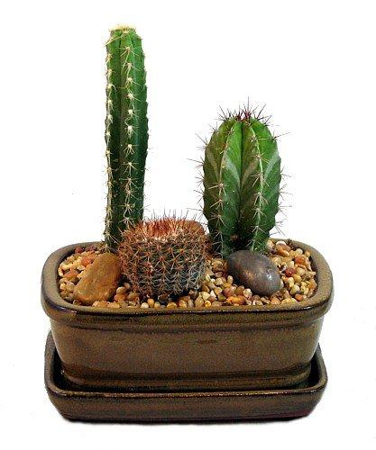 Amazon.com: Arizona Cactus Garden   Glazed Pot   Great Gift   Easy To  Grow!: Garden U0026 Outdoor