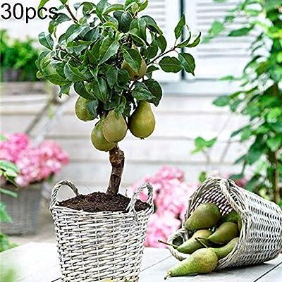 wpOP59NE 30/60Pcs Pear Tree Seeds Sweet Delicious Fruit Garden Yard Farm Bonsai Plant - 30pcs Pear Tree Seeds Plant Seeds : Garden & Outdoor
