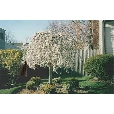 1 Weeping Cherry Tree - ( prunus x yeodensis shidare yoshino ) : Garden & Outdoor