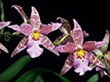 "ALICEARA PACIFIC TRUFFLE 'SURROGATE STAR' BLOOMING SIZE ORCHID SHIPPED IN 3""POT"