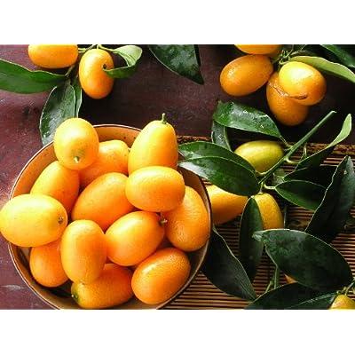 5 Fresh Seeds NAGAMI KUMQUAT Fortunella Margarita Citrus Japonica evergreen : Fruit Plants : Garden & Outdoor