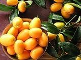 5 Fresh Seeds NAGAMI KUMQUAT Fortunella Margarita Citrus Japonica evergreen