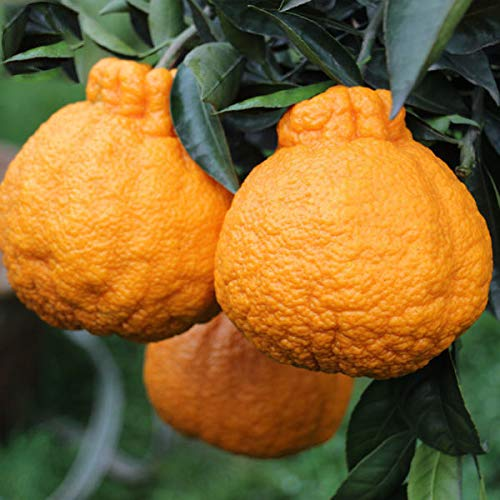 - Plentree Ugly Orange Seeds West India Organic Fruit Tree Seeds Very Sweet Fruit