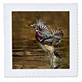 3dRose Danita Delimont - Ducks - Wood Duck, Aix sponsa, male takeoff from river - 16x16 inch quilt square (qs_259748_6)