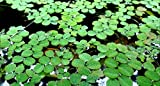 Hot Sale! Water Spangles-Salvinia minima-Live Aquarium/Aquatic/Floating (10 Plants)