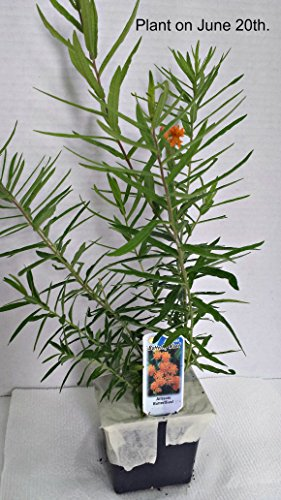 Asclepias tuberosa Orange Butterfly Weed (1 Order Contains 2 Potted Plants)