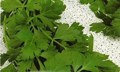 500+ Parsley Seeds- Gigante di Napoli- Herb Seeds