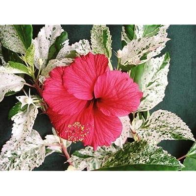"""Hibiscus - Snow Queen - 1 Plant - 4"""" Pot - Starter Plant : Garden & Outdoor"""