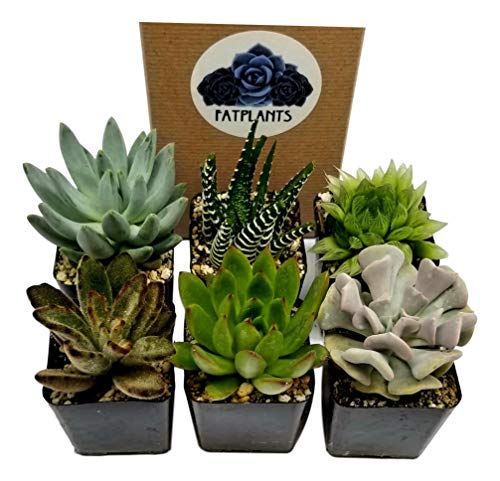 Fat Plants San Diego Succulent Plants (6) by Fat Plants San Diego