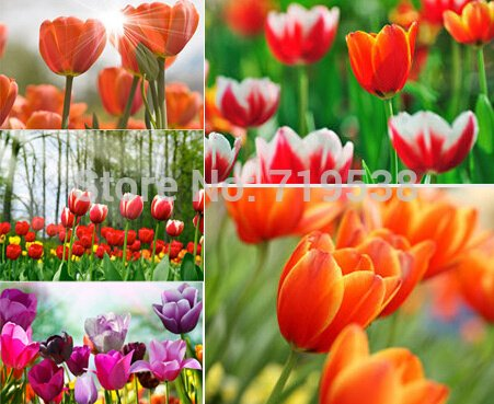 tulip petals tulip seeds potted indoor and outdoor potted plants purify the air 2 seeds