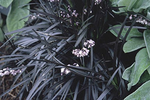 Ophiopogon planiscapus Nigrescens BLACK MONDO GRASS Seeds